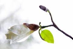 Knopp av den vita magnolian Royaltyfri Fotografi