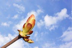 Knopp av det kastanjebruna trädet Royaltyfria Bilder
