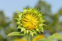 Knopp av en solros som växer i sätta in. Royaltyfria Foton
