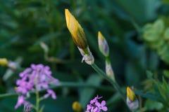 Knopp av gul svärdslilja Royaltyfri Foto