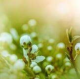 Knopp - blomning i vår royaltyfri bild