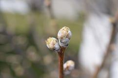 Knopp för blad för päronträd Royaltyfri Foto