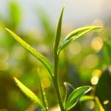 Knopp för grön tea Royaltyfria Foton