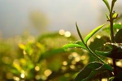 Knopp för grön tea Royaltyfri Fotografi