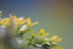 Knopp för grönt te och nya sidor på suddig bakgrund royaltyfri foto