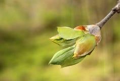 Knopp för hickoryträd Arkivfoto