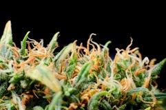 Knopp för makro för marijuanaväxt arkivfoto