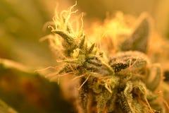 Knopp för makro för marijuanaväxt Arkivbild