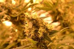 Knopp för makro för marijuanaväxt Arkivfoton