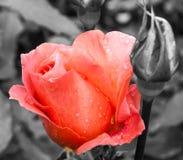 Knopp för ros för laxrosa färger efter regnet Royaltyfria Foton