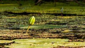 Knopp för vit lotusblomma Royaltyfria Bilder