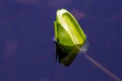 Knopp för vit lotusblomma Royaltyfri Fotografi