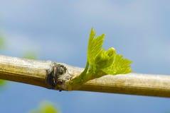 knopp som brister den öppna vinen Arkivfoton