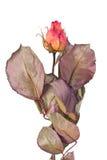 knopp torkad pinkroseyellow Arkivfoto