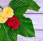 Knoppar av blommande rosor med gröna sidor Arkivfoto