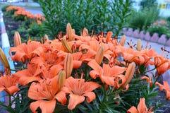 Knoppar av blommor för tigerlilja Fotografering för Bildbyråer