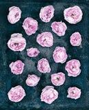 Knoppar av en rosa färgros på en mörk rostig bakgrund Royaltyfri Bild