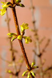 Knoppar av forsythia Fotografering för Bildbyråer