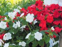 Knoppar av röda och vita Impatiens blodsugare I trädgården royaltyfri fotografi
