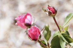 Knoppar av rosa elegant steg blommor med sidor Royaltyfri Foto