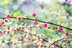 Knoppar av rosa små blommor Royaltyfri Bild