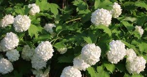 Knoppar av vita blommor i gården lager videofilmer