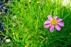 knoppar blommar pink arkivfoton