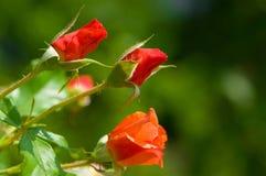 knoppar blommar rose Arkivbilder