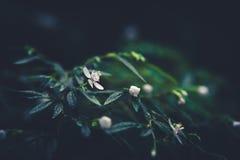 knoppar blommar white Royaltyfria Bilder