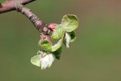 Knoppar för Apple träd Arkivfoton