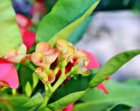 Knoppar för Euphorbiamiliiblomma som är klara att blomma arkivbild