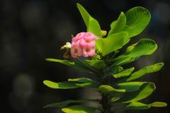 Knoppar för Euphorbiamiliiblomma som är klara att blomma royaltyfri bild
