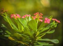 Knoppar för Euphorbiamiliiblomma som är klara att blomma arkivfoto