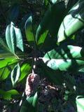Knoppar för magnoliaträdblomma som brister in i frö i nedgång i Anne Arundel County i Maryland royaltyfri bild