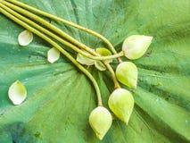 Knoppar för vit lotusblomma Arkivfoton