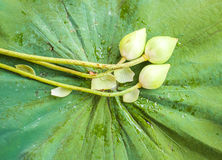 Knoppar för vit lotusblomma Royaltyfri Bild