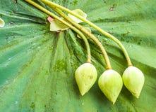 Knoppar för vit lotusblomma Royaltyfri Fotografi