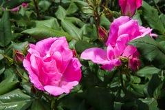Knoppar och sidor av en rosträdgård Royaltyfri Bild