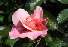 Knoppar och sidor av en rosträdgård Arkivbild