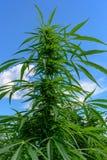 Knoppar på cannabisväxten Royaltyfri Foto