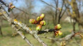 Knoppar på en filial för körsbärsrött träd lager videofilmer
