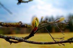 Knoppar på träd i vår Arkivfoton