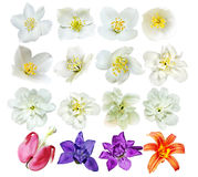 Knopparna av blommor som isoleras på vit bakgrund Arkivbild