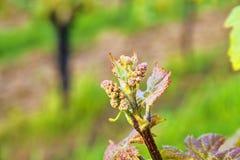 Knoppavbrott av vinrankan på grön backgound Vingård i vår Närbild Viniculture och vinodlingbegrepp Arkivfoton