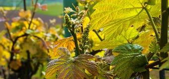 Knoppavbrott av vinrankan på grön backgound Vingård i vår Närbild Viniculture och vinodlingbegrepp Royaltyfri Fotografi