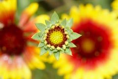 knoppchrysanthemum Royaltyfri Bild