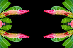 Knoppen av rosa färgöknen steg Arkivbild