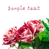 knoppen blommar vibrerande white för redrose Royaltyfri Foto