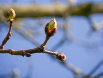 Knoppen in de lente op de tak van een kastanjeboom, ongeveer te openen om Het betekenen van wedergeboorte stock foto