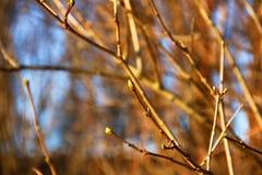 Knoppen die in de lente groeien Royalty-vrije Stock Fotografie